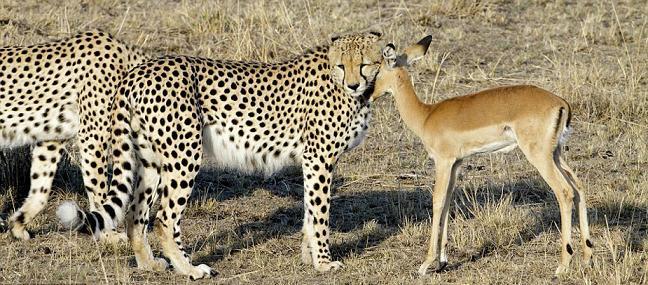 动物保护区拍照的摄影师拍到令人惊讶的画面:三只猎豹与一只本是其
