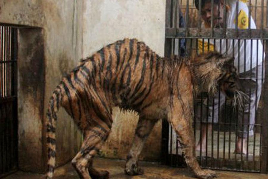 印尼动物园老虎瘦成猫