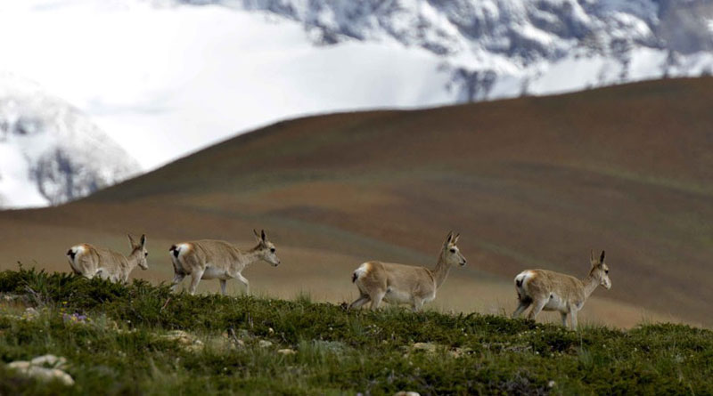 西藏野生动物迁徙保护