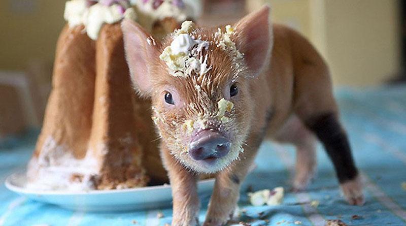 >> 超萌迷你宠物猪   俄罗斯「大图网」就为读者准备了一个可爱至极的